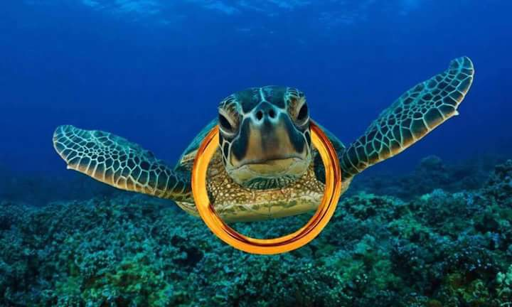 Picture of turtle with golden yoke to remind us of our precious human life