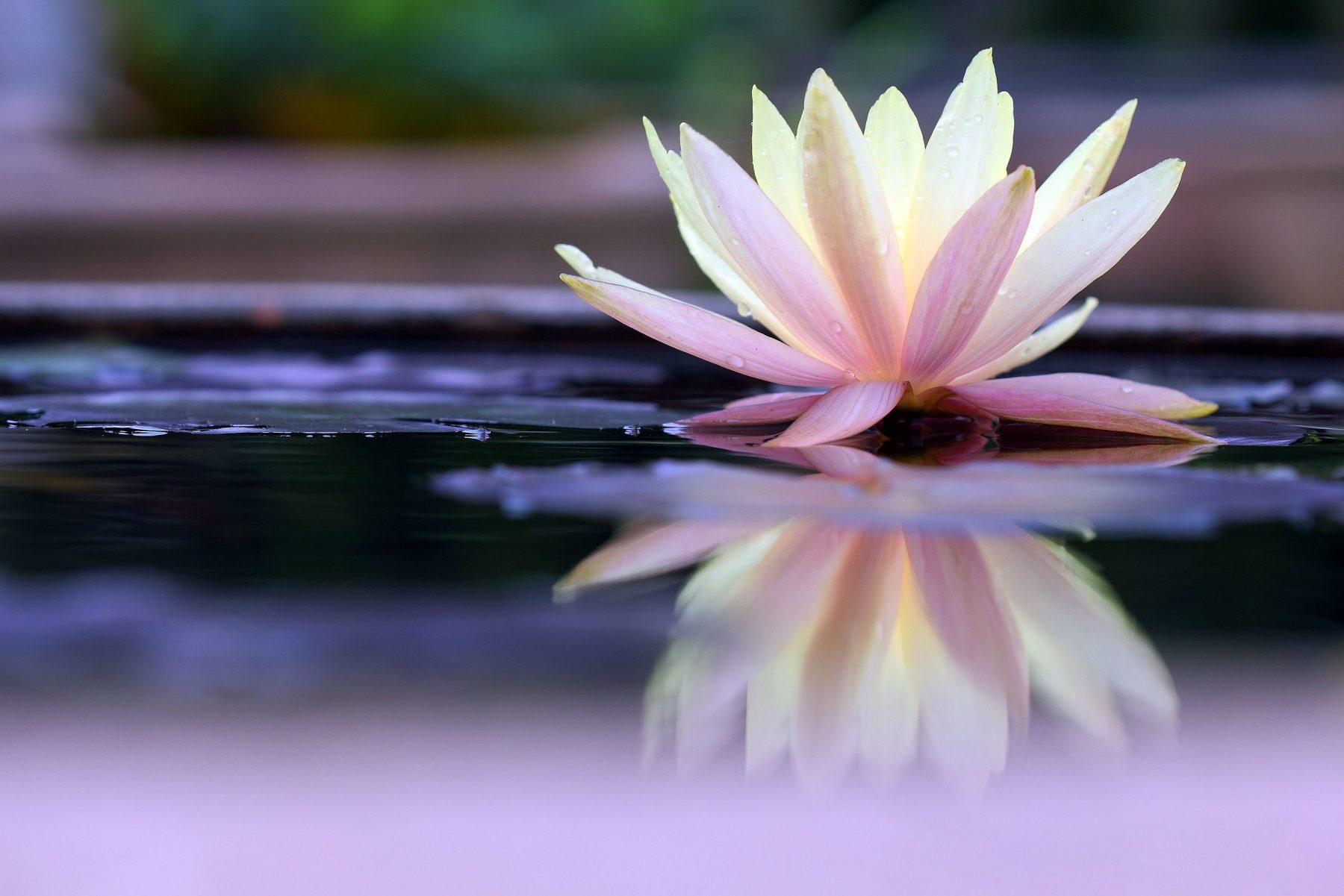 lotus on still water