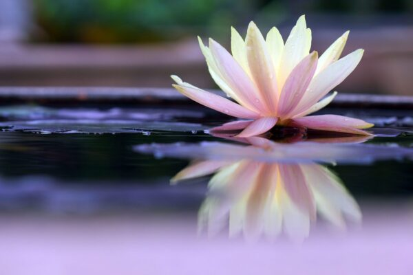 lotus on still water